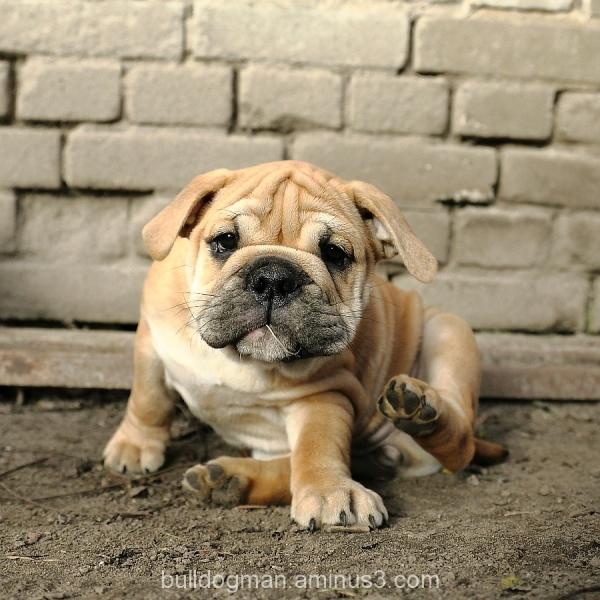 continental bulldog puppy