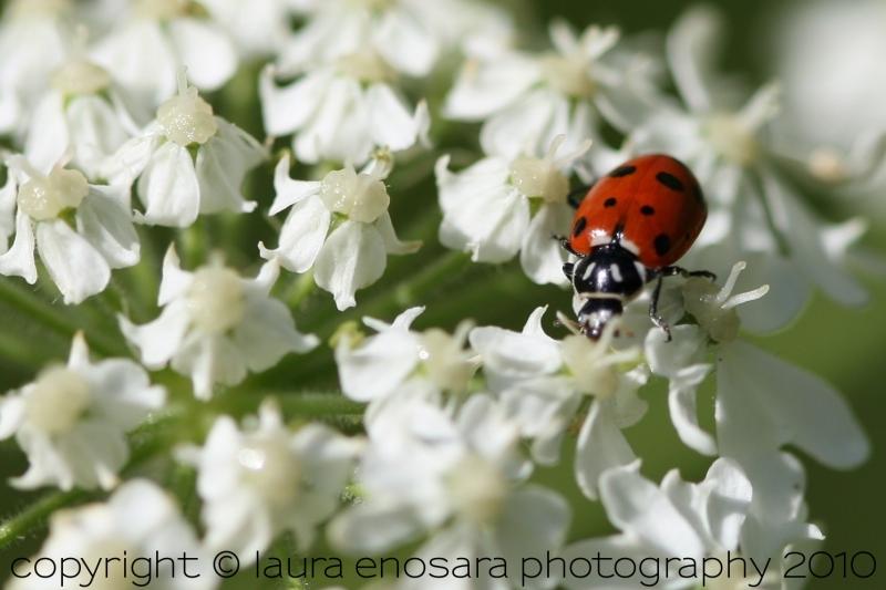 ladybug in cooks meadow, yosemite