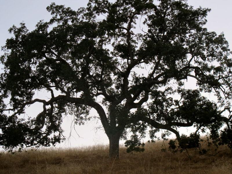 santa ynez tree