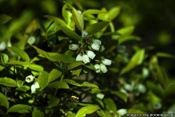 Blueberry Flowering