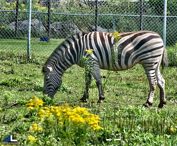 Burchelli's Zebra