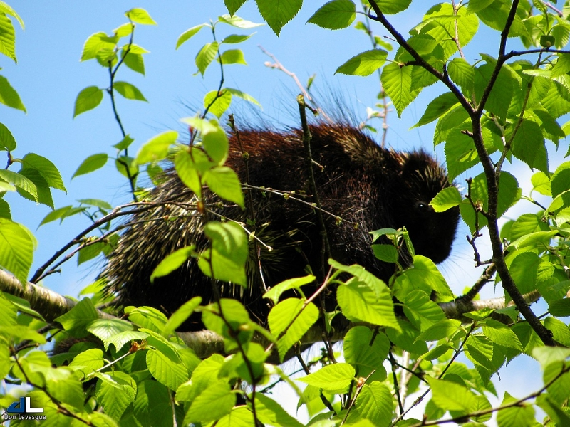 Porcupine in a birch tree