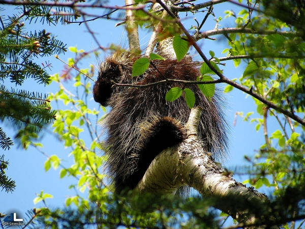 Porcupine in a birch tree (2)