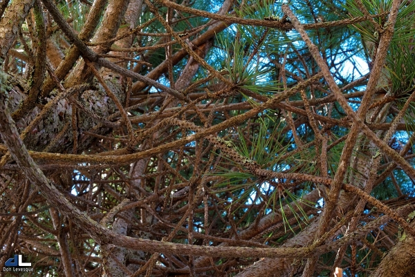 Looking up a pine tree