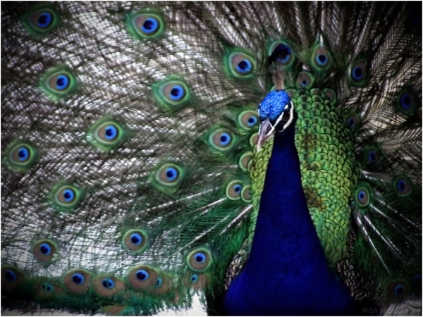 a peacock on display