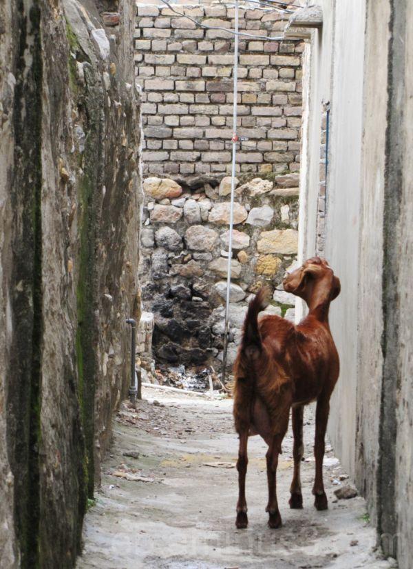 Chevrette - Pakistan