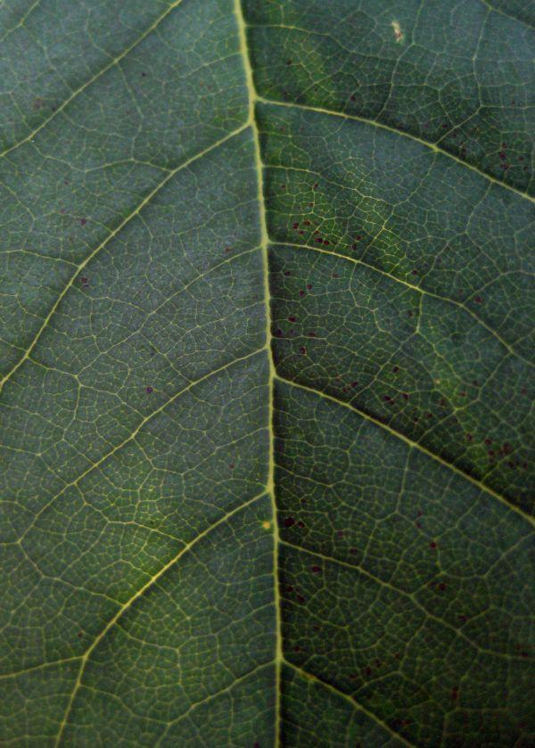 Lake Forest Leaf