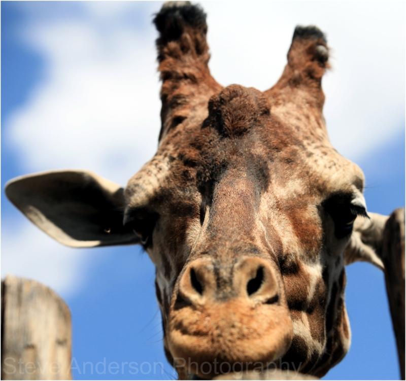 Giraffe at Albuquerque Zoo