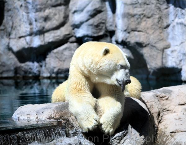 Polar Bear in Albuquerque Zoo