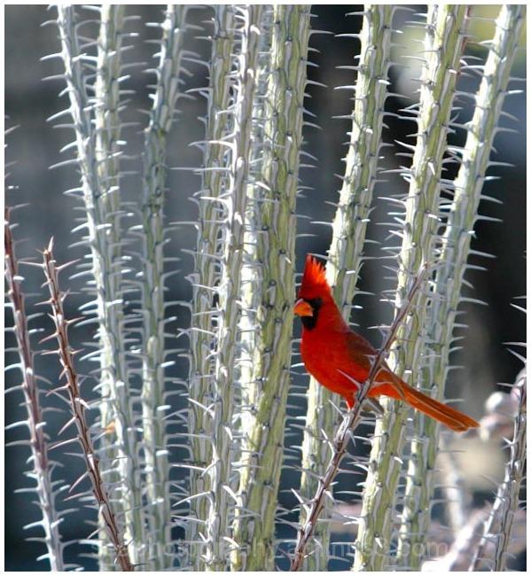 Cardinal in Cactus