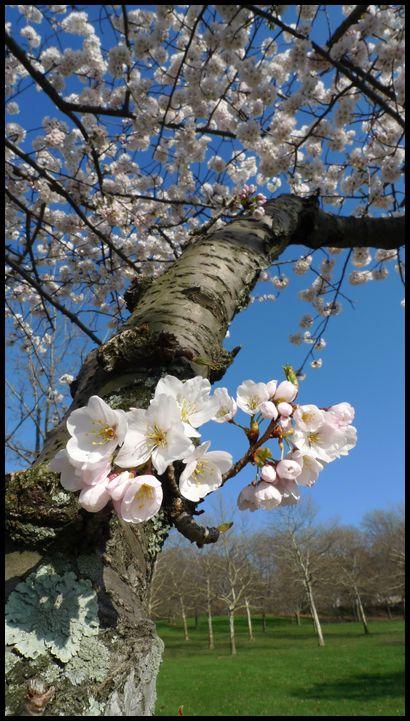 Cherry Blossom, flower, plants, nature, life, pick