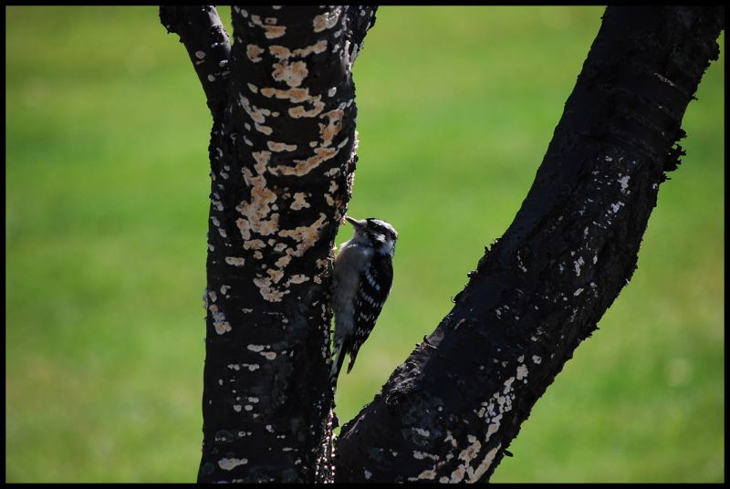 Bird, Wood, Tree, Pecker, Woodpecker, grass,nature