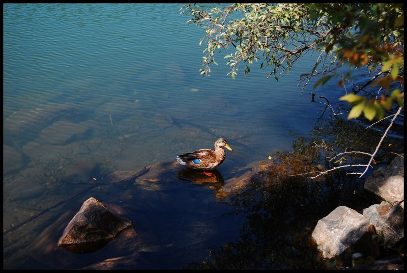 Duck, Life, Water, Lake, Rocks, Tree, Nature, Wild