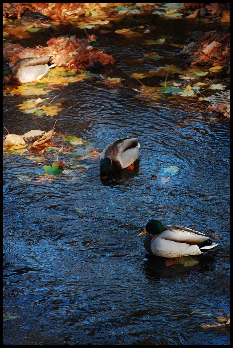 Ducks, Leafs, Leaves, Tree, Lake, Pond, Nature, Li