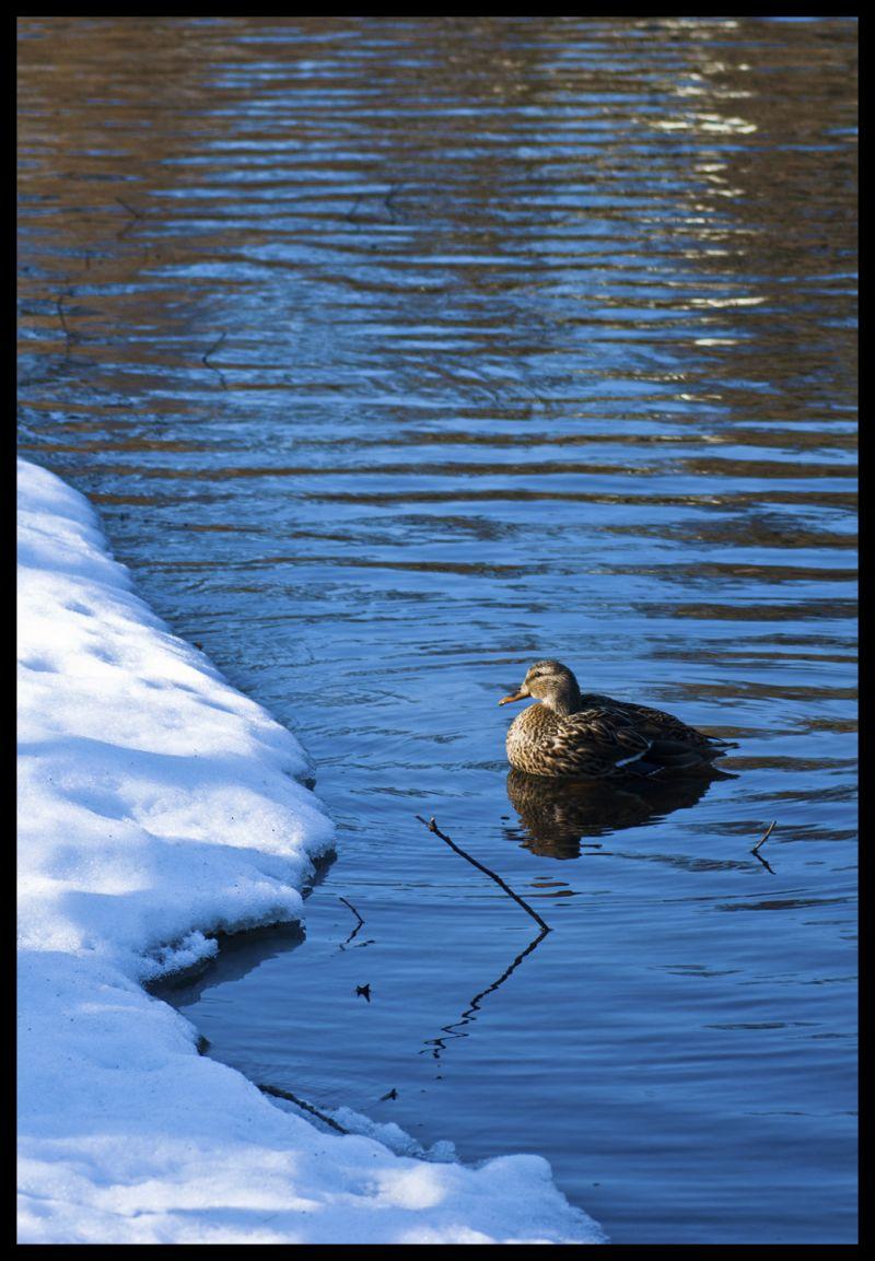 Duck, Snow, Lake, Cold, Nature, Swim, Swimming