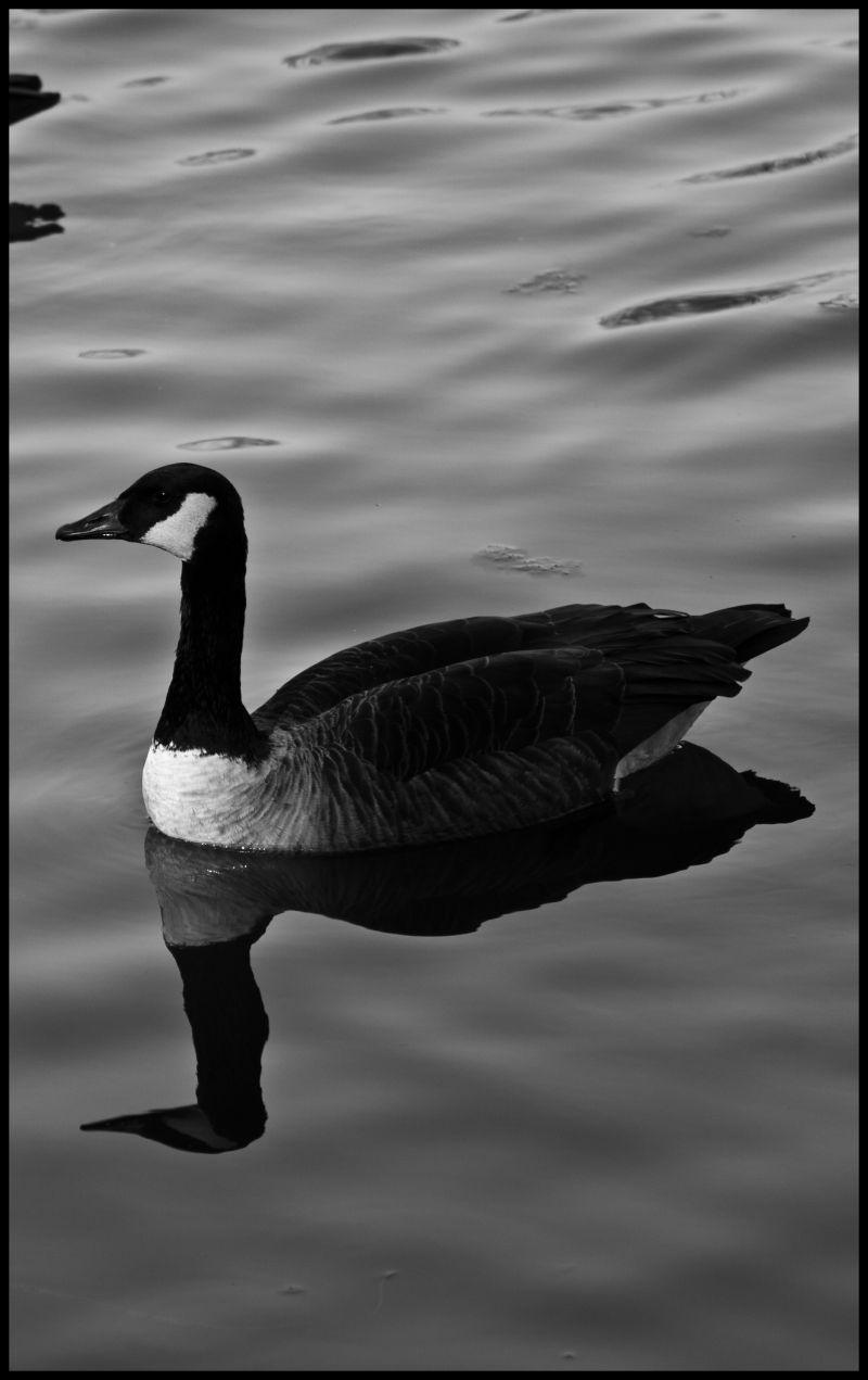 Duck, Lake, Stream, water, nature, wildlife, wild,