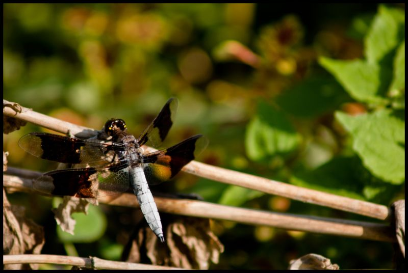 Dragon,fly,bug,sunshine,nature,bracnhes,leafs,flow