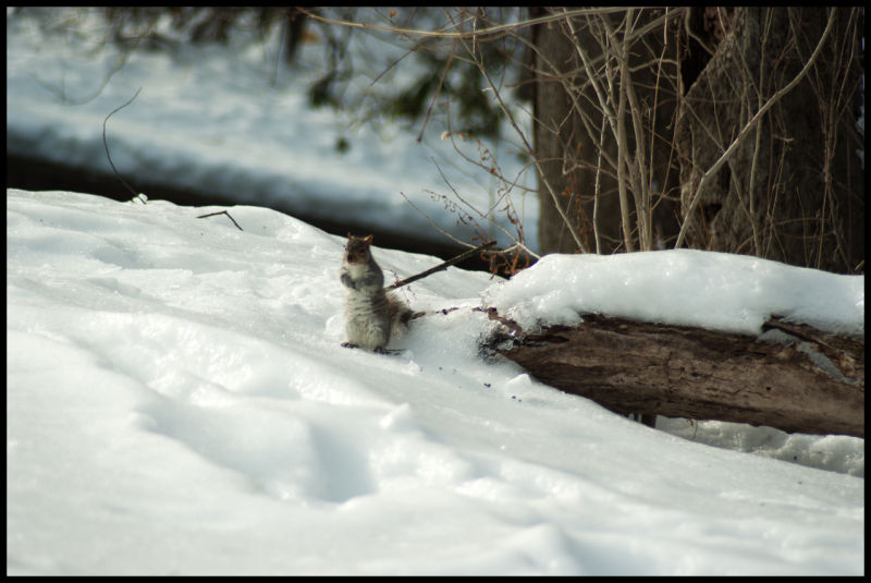 Woods, squirrel, nature, snow, winter, standing, A