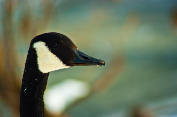 Duck, geese, lake, Winter, Ice, Cold, Nature, Boke