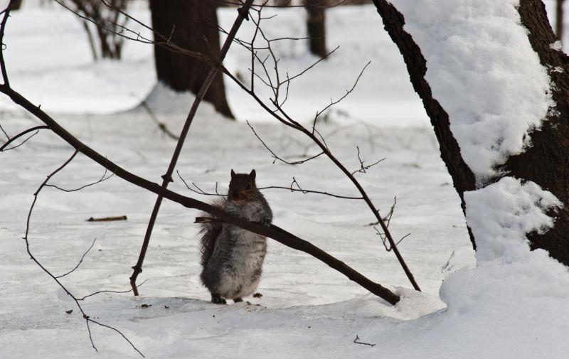 woods  squirrel  nature  snow  winter  standing