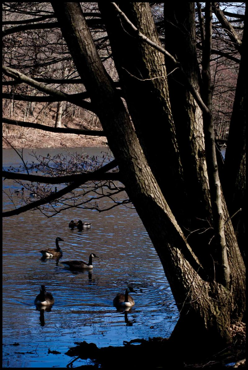 Duck, Tree, Lake, Nature, Water, Leaves, Life, Duc