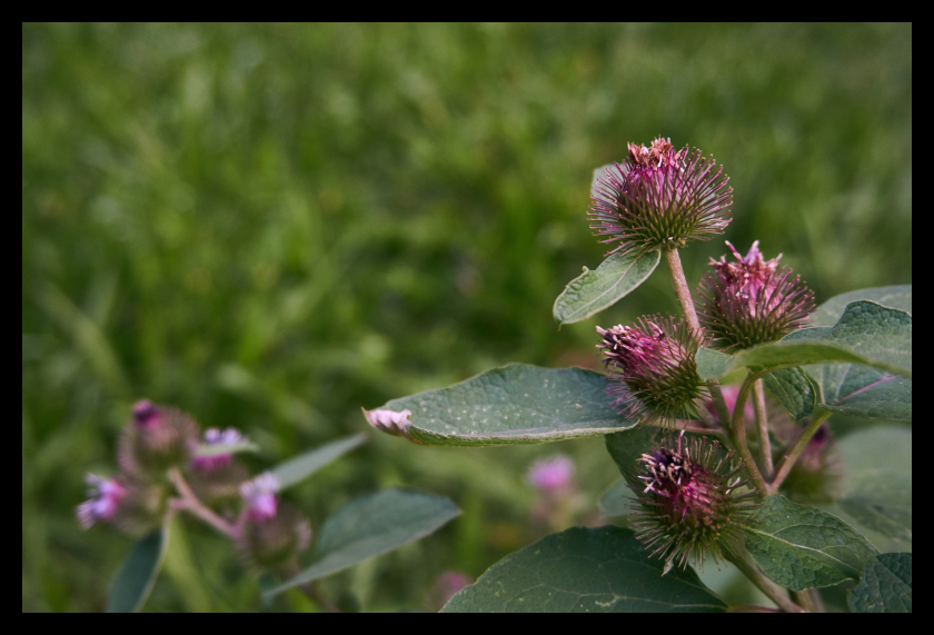 Plants, Nature, Purple, Flowers