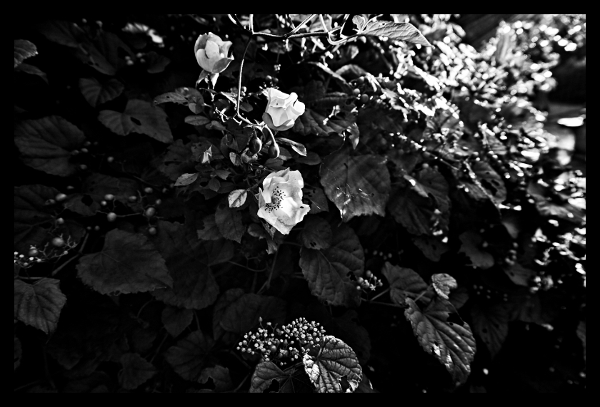 Flower, B+W, Nature, Sun, Light, Woods