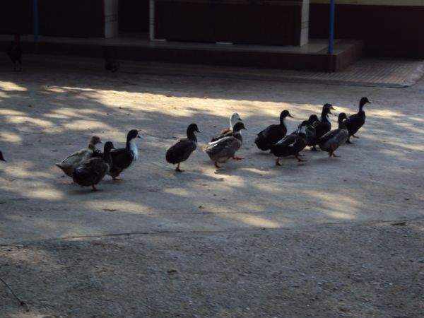 Ducks in line
