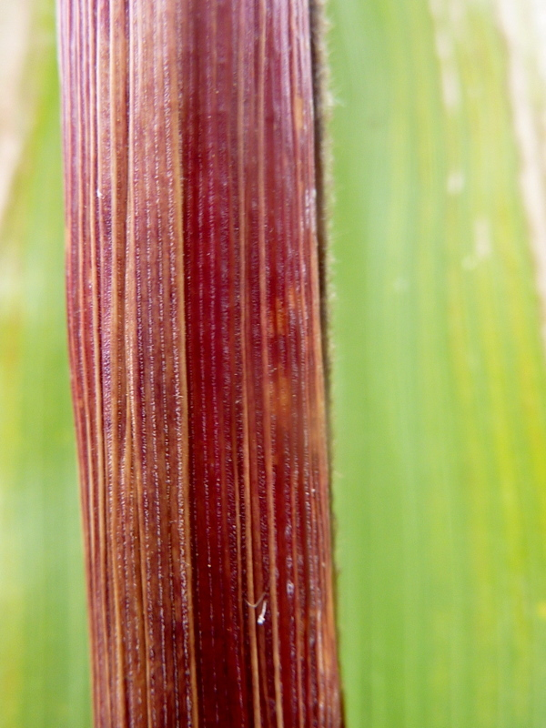 Maïs d'automne