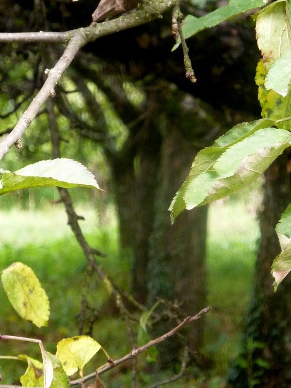 sous les pommiers ( apple trees)