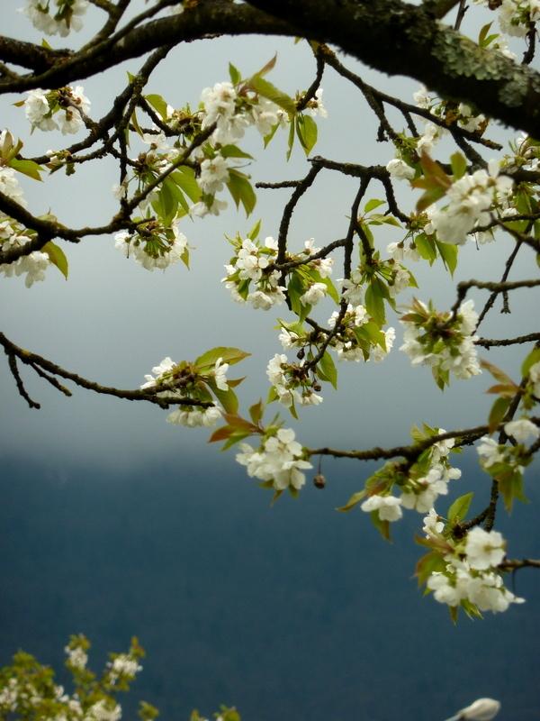 de cerisier