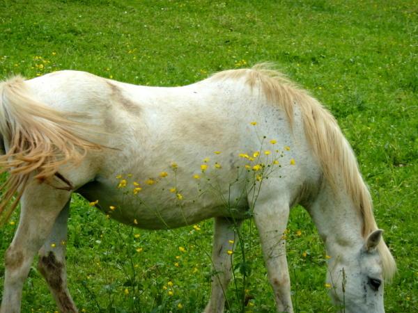 jaune ventre