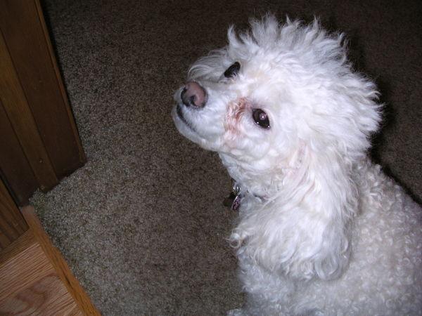 My wonderful poodle baby giving love eyes.