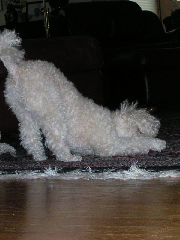 My wonderful poodle baby playing.