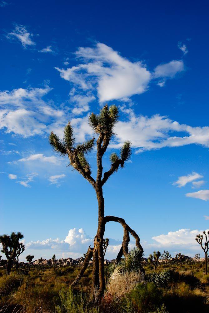 Joshua Tree National Park XII