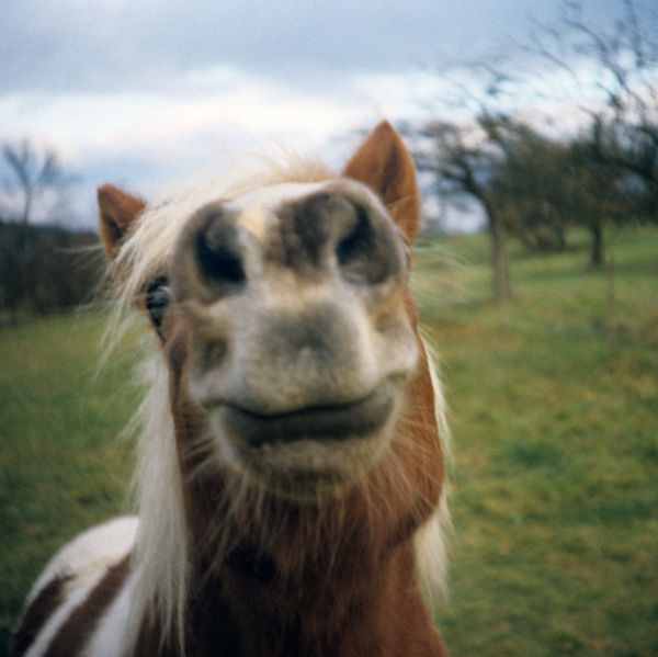 a horse showing it´s teeth