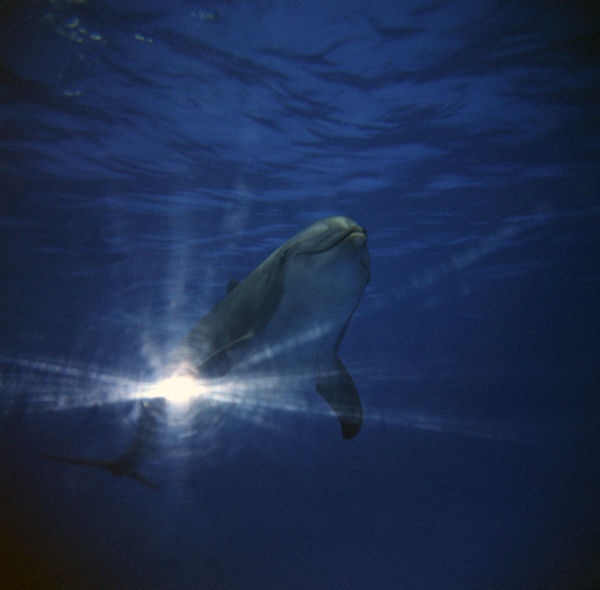 dolphin in blue water and rays of light