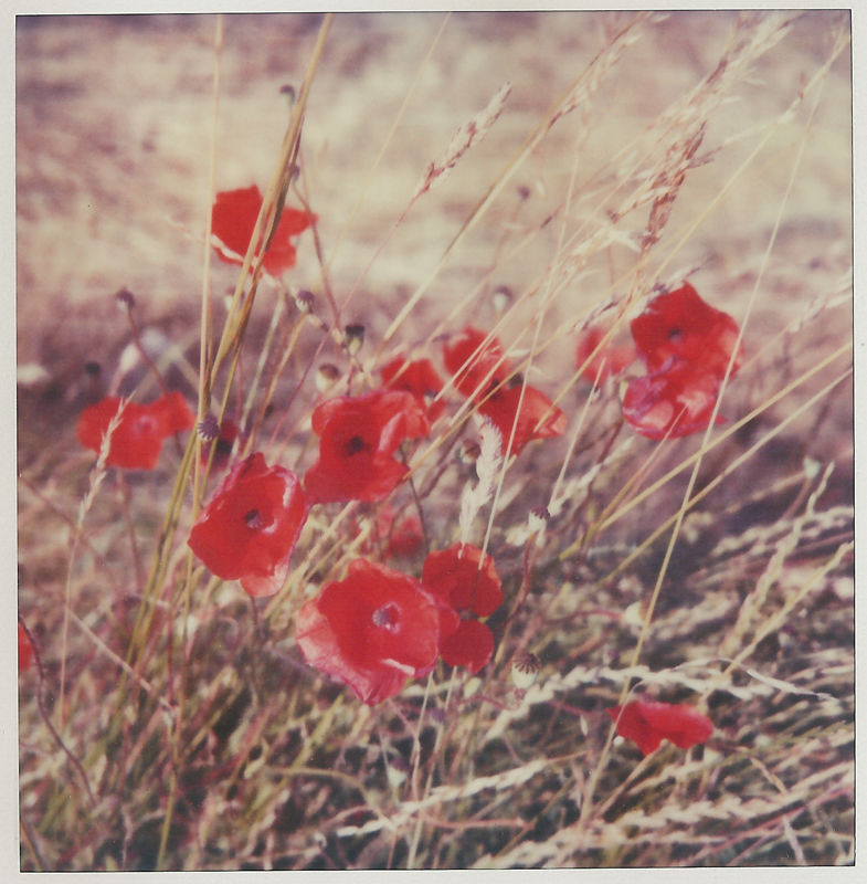 poppies on a field in polaroid
