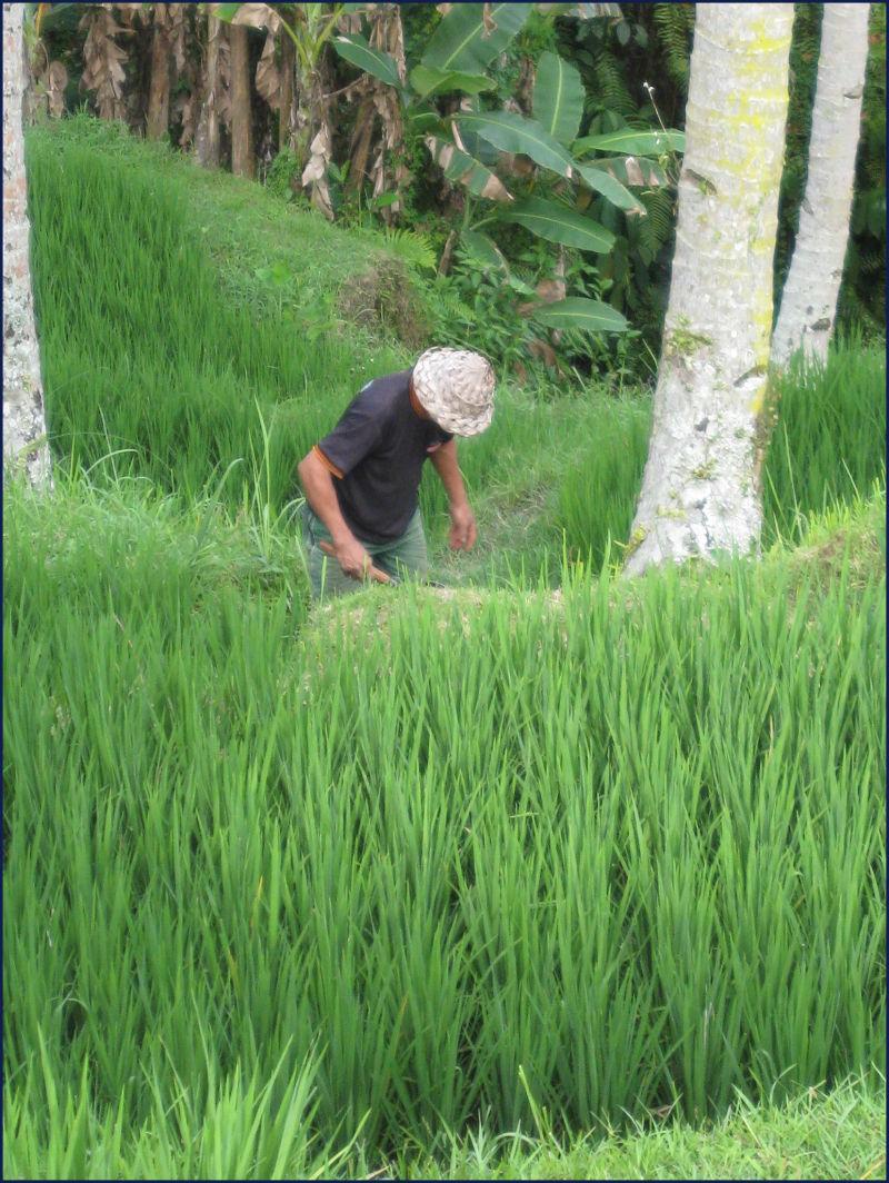 Bali- farmer tending rice terrace