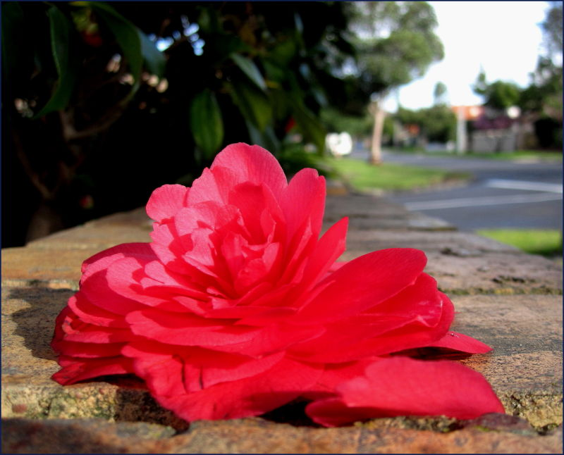 camellia on the footpath