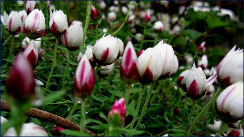 Australian wild flower bed