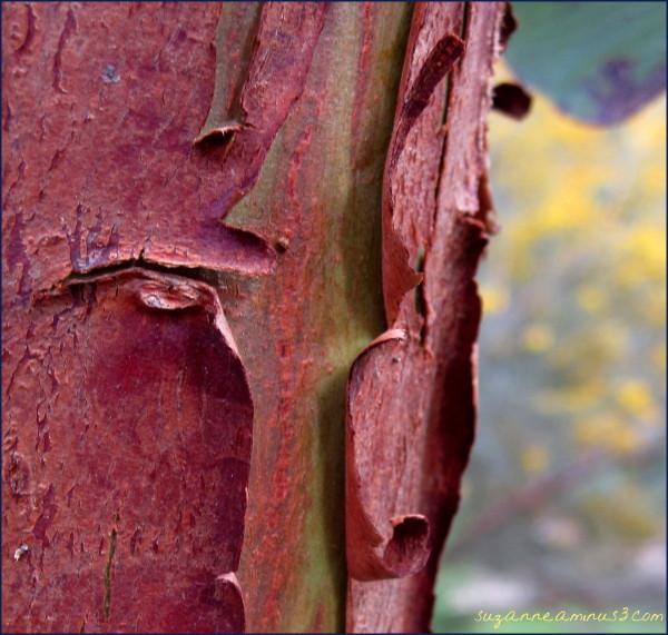 bark on an Australian native tree