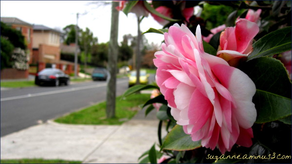 camellias in the street