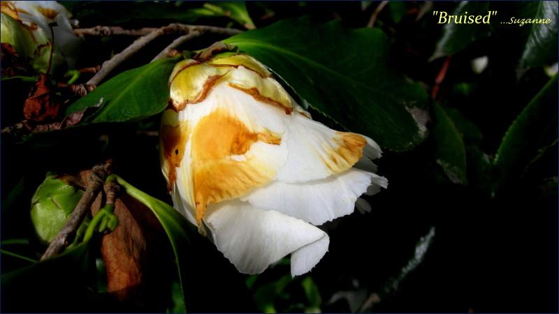 camellia bud damaged by rain