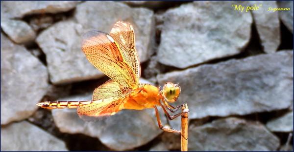 dragonfly visitor everyday