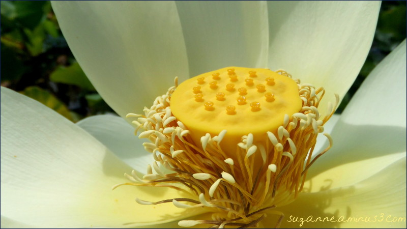 macro,lotus, flower, yellow, white