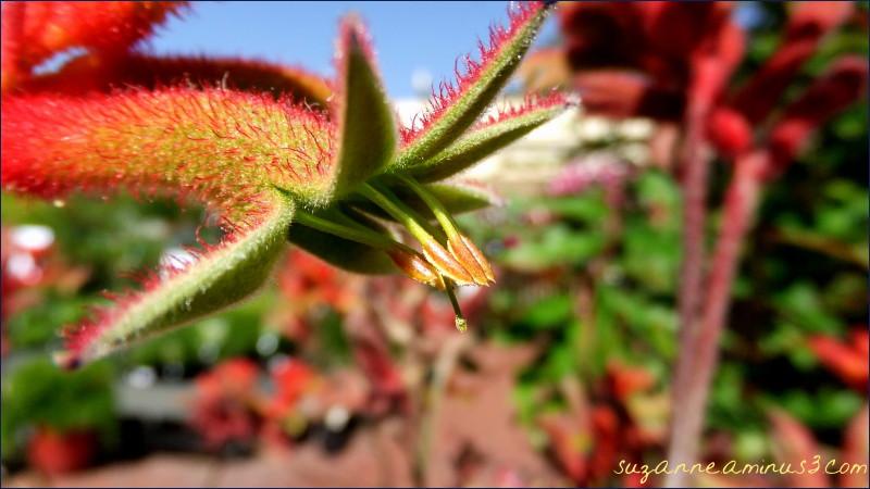 macro,red,kangaroo, paw, flower