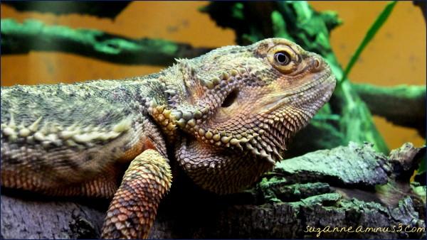 macro,dragon,bearded, Healsvile, sanctuary, Zoo
