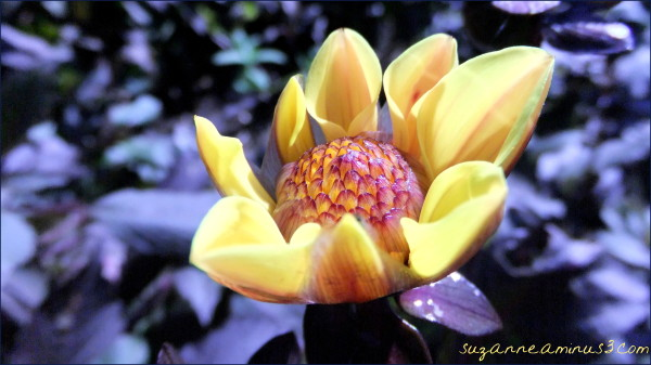 macro, dahlia, yellow, bud, shade