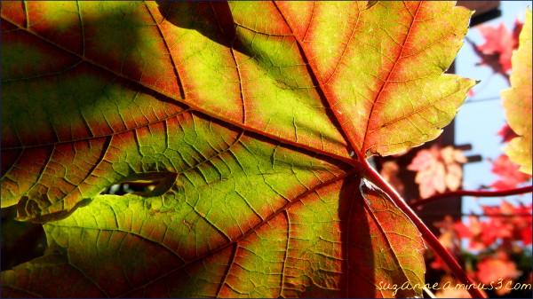 macro,leaf,maple,autumn,sky